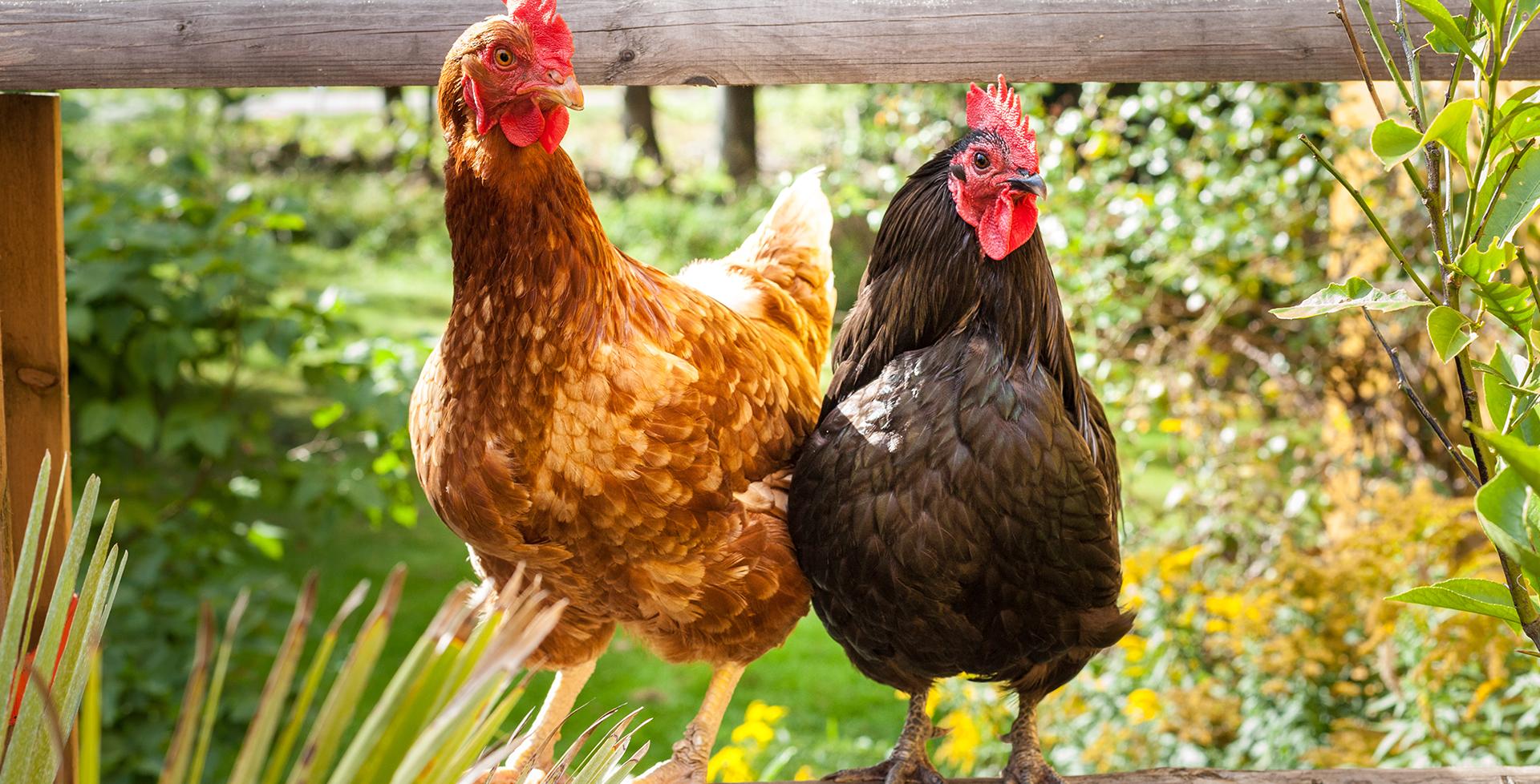 Hobby-Farming: 5 Tipps, wie es mit dem eigenen Hühnerstall funktioniert