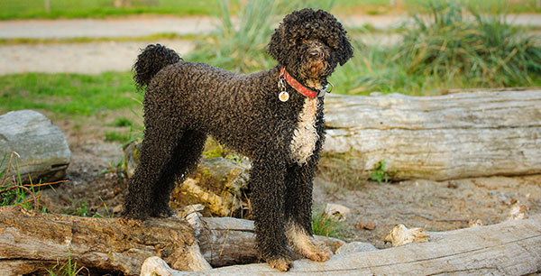 Der Portugiesische Wasserhund