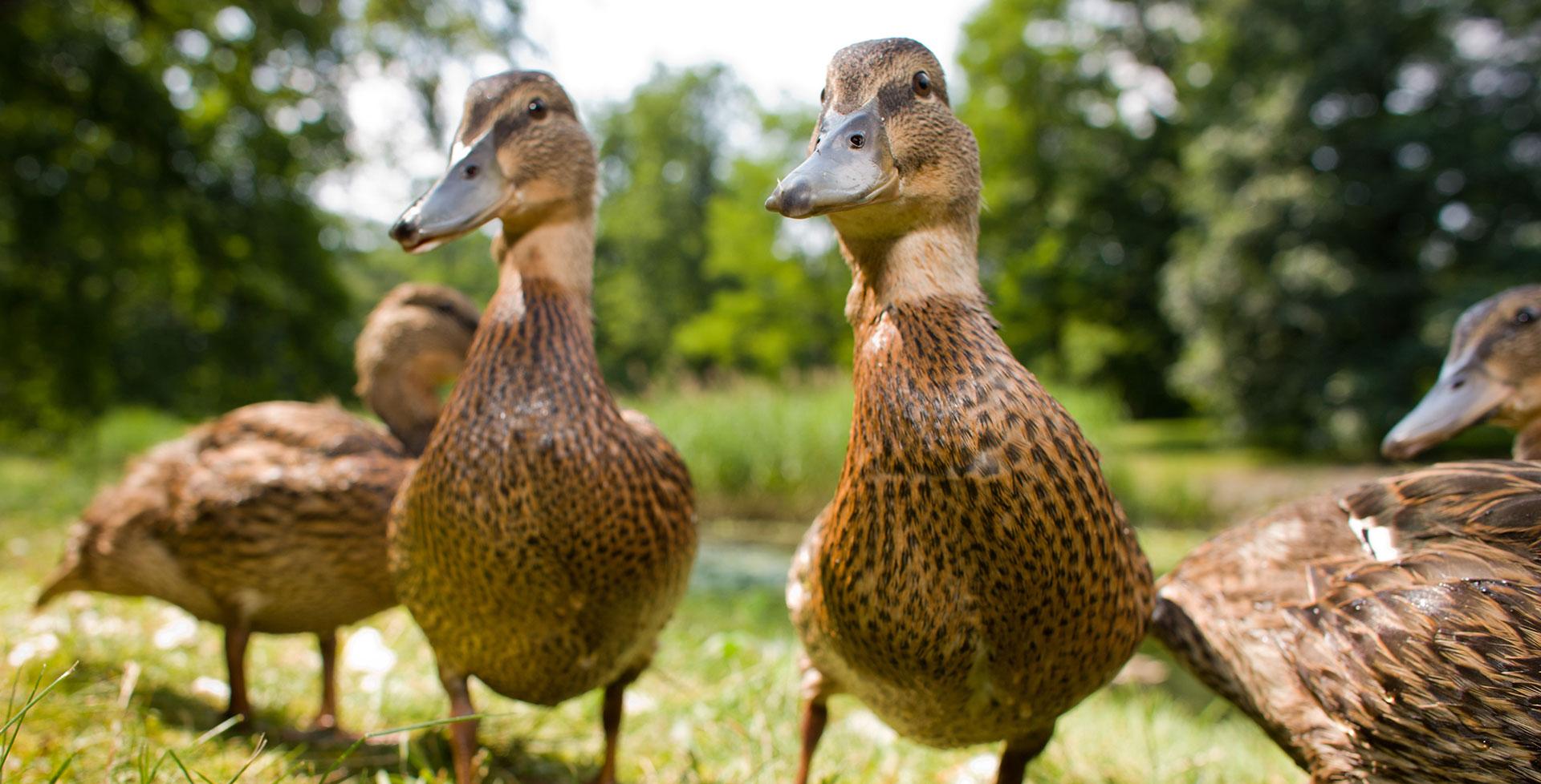 Enten - Das etwas andere Geflügel