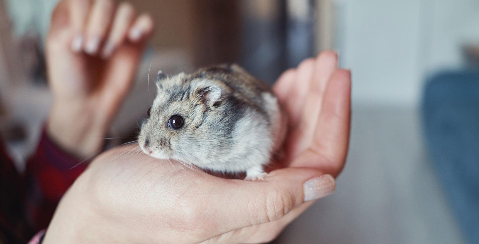 So putzt man süße Hamster richtig!