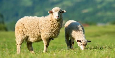 Schafe halten: Acht Tipps, wie es mit dem eigenen Stall klappt
