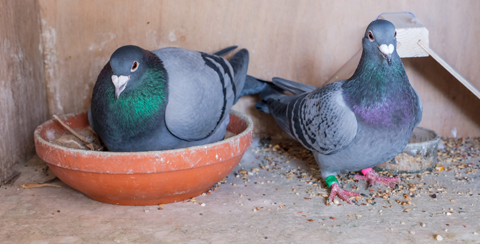Tauben füttern: Das muss beachtet werden!