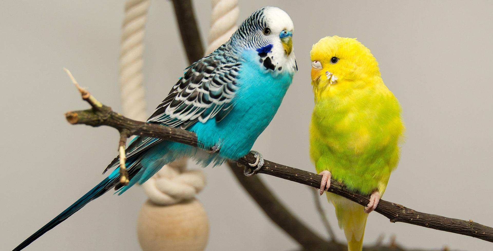 Einzel- oder Paarhaltung: Wie halte ich meine Ziervögel am besten zu Hause?