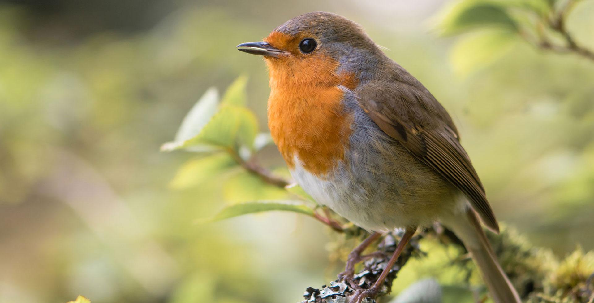 Vogel des Jahres: Das Rotkehlchen